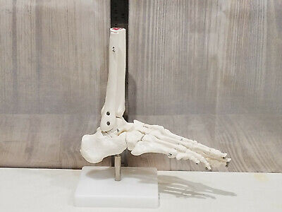 Human Life Size Foot Bone Anatomy Model Display Dr. Office Decoration