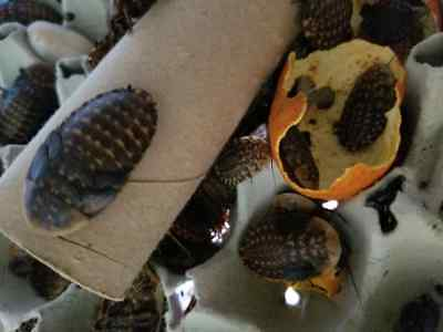 30 Medium/Large Discoid Roaches (1/2 inch and up - no winged) Legal in Florida