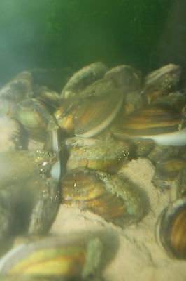 20 Swan Mussels - Natural Ponds/Koi/Carp/Goldfish - MF Aquatics - FREE DELIVERY