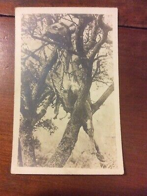 World War I WWI Postcard Real Photo RPPC Horse In Tree Blown By Shell