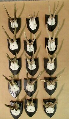 15 Roe Deer Antlers on Black Forest Plaque