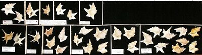Shell collection, worldwide, 11 lots of Aporrhaidae