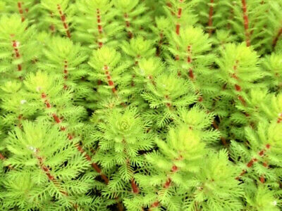 Red Stemmed Parrot Feather, Myriophyllum Brasiliensis, Aquatic plant pond indoor