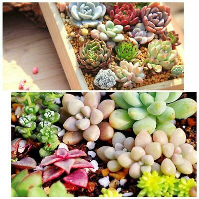 400pcs Mixed Cute Succulent Seeds Lithops Living Stones Home Cactus Plant P X7S9