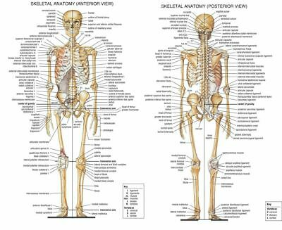 NEW ANATOMICAL DIAGRAM CHART GUIDE SKELETON HUMAN Art Silk Poster 12x18 24x36