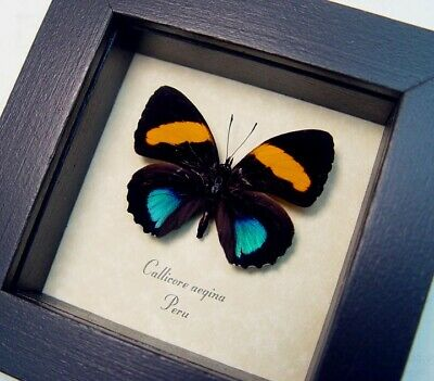 Real Framed Callicore Aegina Blue Orange Tropical Butterfly 7811