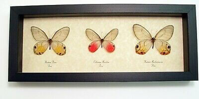 Real Framed Peach Gold Pink Glasswing Butterfly Collection 455