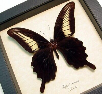 Real Framed Rare Papilio Oenomaus Black Cream Swallowtail Butterfly 8252