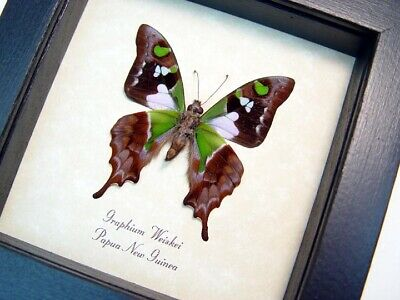 Real Framed Graphium Weiskei Purple Spotted Swallowtail Verso Butterfly 229V