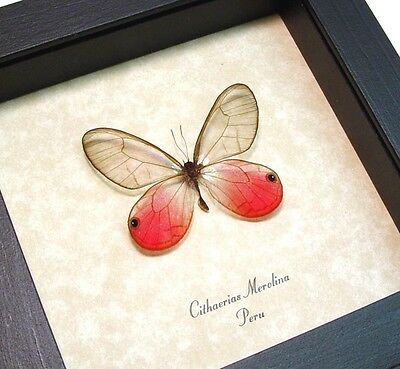 Real Framed Cithaerias Merolina Pink Glasswing Butterfly 227