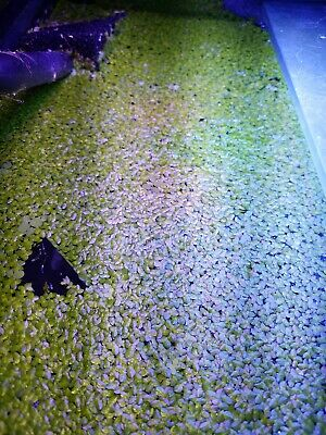Live duckweed/ salvinia mix 1 cup