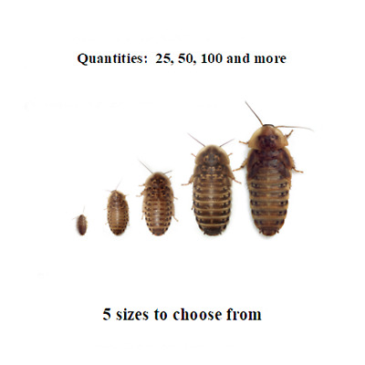 "Medium Dubia Roaches 3/4"" Feeders - Ships Same Day Free"