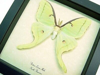 Real Framed North American Pale Green Actias Luna Male Moth1124