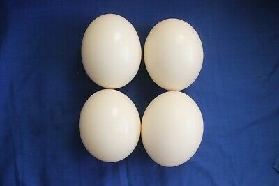 Ostrich Eggs x 4 Pearl White Top Quality African symmetrical, small single hole