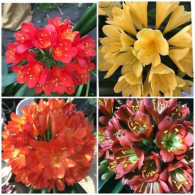 15 x Clivia miniata MIXED Sprouted seeds. Collected From South African Breeders.