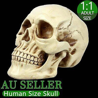 Resin Art Human Skull Replica Teaching Model Medical Realistic 1:1 Adult Size AU