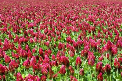 Crimson Red Clover, Deer, Wildlife Food Plot Seed, Cover Crop