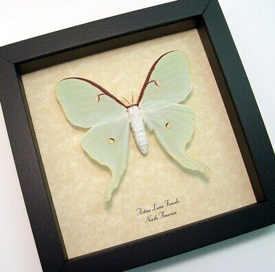 Real Framed North American Pale Green Actias Luna Female Moth 792a