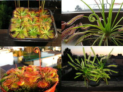Drosera sundew carnivorous plants big package of different seeds of 4 species