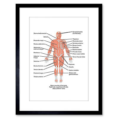 Science Anterior View Muscles Anatomy Framed Art Print Poster 9x7 Inch