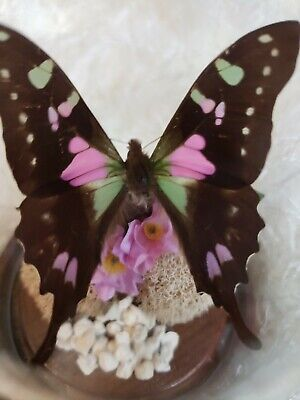 purple spotted swallowtail GRAPHIUM WEISKEI New Guinea original butterfly dome
