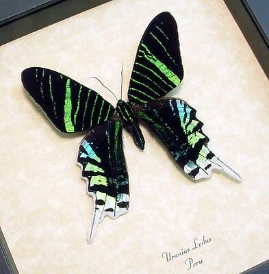 Real Framed Green-Banded Urania Leilus Butterfly 419