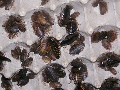 Dubia Roach starter colony 10 female 10 male 100 various sized nymphs.