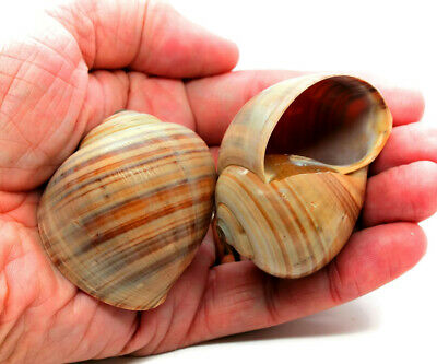 "Large Hermit Crab Shells Land Snail Shells 2 -2.5"" Natural Shells (Qty 2)"