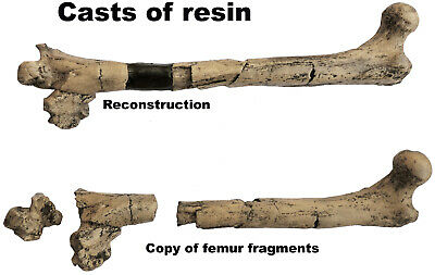 Copy of fragments and the reconstruction of the Femur of Lucy - cast of resin