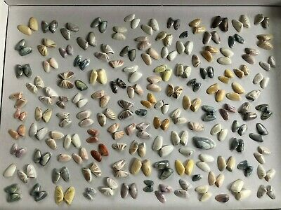 100+ Brightly Colored Coquina Starburst Sunrise Sea Shell Lot FL Natural Finds