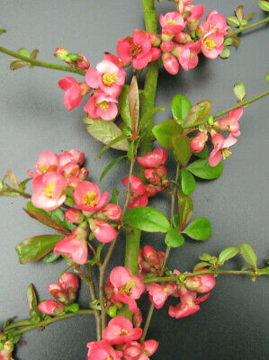 Zierquitte Chaenomeles /'Pink Lady/' 40-60 cm
