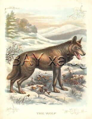 WOLF, Very Large Quality 100 Year Old Antique Print