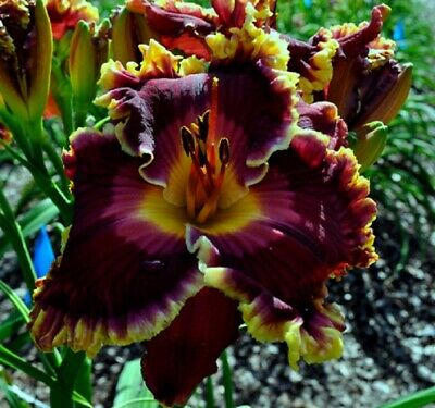 "Taglilie, daylily, Hemerocallis ""Superstitious"""