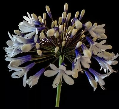 Agapanthus 'Twister' 9cm Well Rooted Plant. UK National Collection Holders.