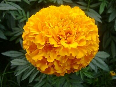 FRENCH MARIGOLD YELLOW - - Fresh Seeds 150 Hand Grown//Packed in USA!