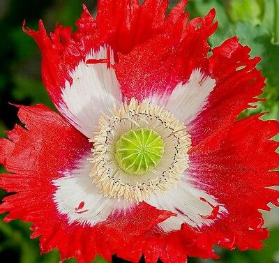 DANISH FLAG POPPY Papaver Red White Annual 30 Seeds