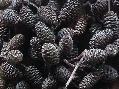 Red Alder Cones (100 pcs) USA