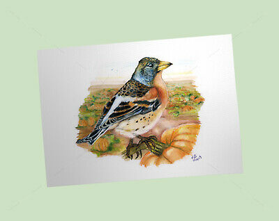 Brambling Art Print, British Garden Birds, of watercolour pencil drawing