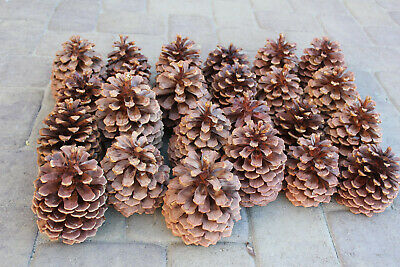 "Lot of 26 Fresh Large Jeffrey/Ponderosa 5""-7"" Pine Cones, Christmas Decor Crafts"