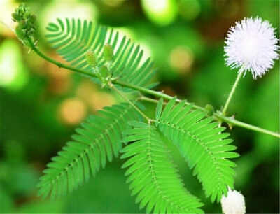 Mimosa Seeds Garden Courtyard Bashful Grass Sensitive Potted Plants 50pcs