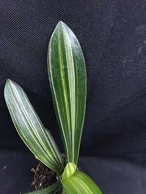 Clivia miniata Variegated Markings 7cm Pot. UK National Collection holders