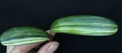 Clivia miniata Variegated Young Plant. UK National Collection holders