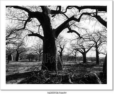 Trunk Of Baobab Tree In A Boabab Art/Canvas Print. Poster, Wall Art, Home Decor