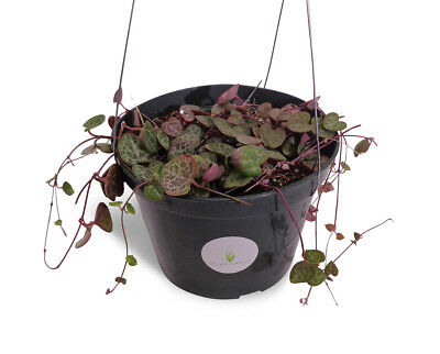 """LG. String of Hearts Succulent Ceropegia Woodii in 6"""" Hanging Pot FREE SHIPPING"""