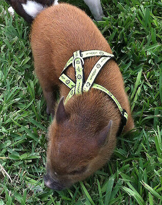 piGGlz Signature© Potbelly Pig Harnesses & Leashes - by piGGlz.com