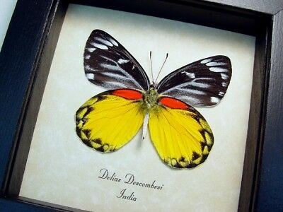 Real Framed Rare Orange Yellow Delias Descombesi Verso Butterfly 8531