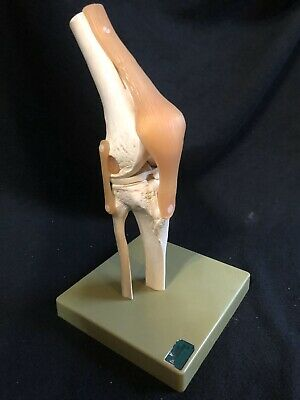 SOMSO NS50 Functional Knee Joint Anatomical Model With Base