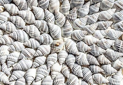 Sea Shells Cone Shells from the Beach Canvas Picture Wall Art