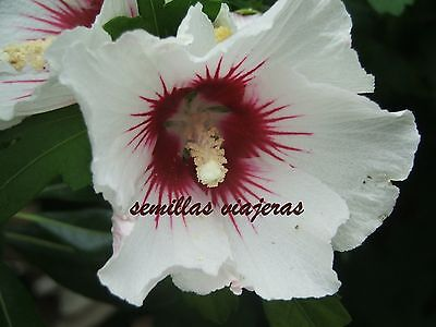 """8 graines d/' HIBISCUS BLANC SYRIACUS /""""RED HEART/"""""""