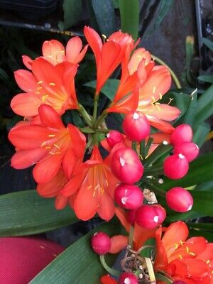Clivia miniata Very Dark Japanese orange/red x 2. National Collection Holders.